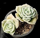 러블리로즈(얼큰이) 35-130 Lovely Rose