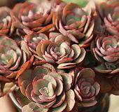 꽃보다수연묵은둥이(중품)|Echeveria Suyon