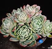 라즈베리아이스56 Echeveria Rasberry Ice