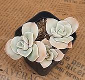 러블리로즈#36 Lovely Rose