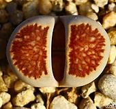 리톱스 쥴리 국화석(탈피중)-106|Lithops