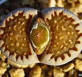쥴리 플러리(스티치무늬 창)Lithops julii fulleri-213|