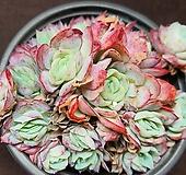 라즈베리아이스 Echeveria Rasberry Ice