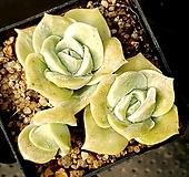 러블리로즈 78-208 Lovely Rose