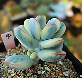 방울복랑금95 Cotyledon orbiculata cv variegated