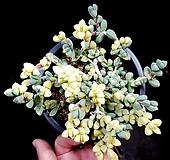 벽어연금 1|Corpuscularia lehmanni