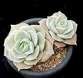 러블리로즈(중) 35-298 Lovely Rose