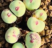 conophytum pageae ssp 파가에 