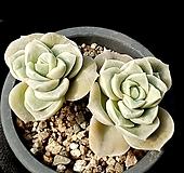 러블리로즈(중) 36-10 Lovely Rose
