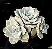 러블리로즈(특얼큰이) 36-218 Lovely Rose