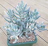 원종방울복랑금 대품 72 Cotyledon orbiculata cv variegated