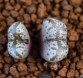 Conophytum pellucidum Saalber black & white 484 