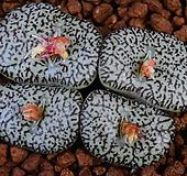 Conophytum ursprungianum stayneri(우르스프럼기아눔 스테니어리) 497 