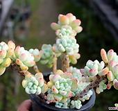 핑크 라울 Sedum Clavatum