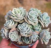 러블리로즈 (모둠) Lovely Rose