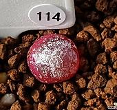 어린 부르게리 114 Conophytum burgeri