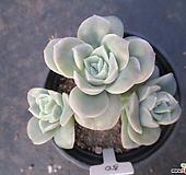 러블리로즈 0650 Lovely Rose