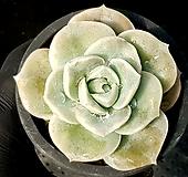 러블리로즈(얼큰이) 78-266 Lovely Rose