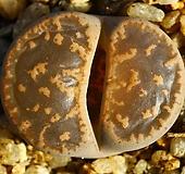 리톱스 레즐리(레슬리,탈피중)Lithops lesliei-105|Echeveria cv Rezry