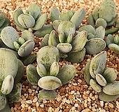호피복랑금12081 뿌리무 개당 Cotyledon orbiculata cv variegated