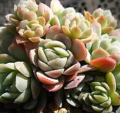 라즈베리아이스1208-3 Echeveria Rasberry Ice