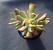원종복랑금 묵은군생 Cotyledon orbiculata cv variegated
