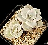 러블리로즈 36-430 Lovely Rose