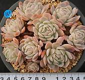 169 라즈베리아이스 Echeveria Rasberry Ice