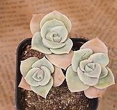 러블리로즈#33 Lovely Rose