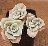 러블리로즈#34 Lovely Rose