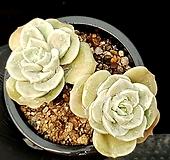 러블리로즈(중) 78-434 Lovely Rose