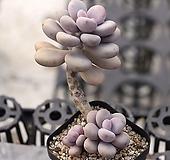 아메치스 군생 2-2429|Graptopetalum amethystinum