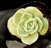 러블리로즈 79-14 Lovely Rose