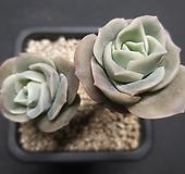 러블리로즈-8001 Lovely Rose