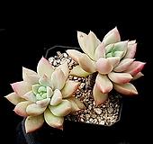 아메치스교배종 37-335|Graptopetalum amethystinum