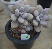 (12月)아메치스(목대)47|Graptopetalum amethystinum