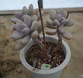 (12月)아메치스(목대)52|Graptopetalum amethystinum