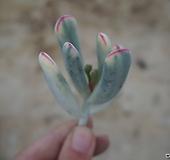 (12月)원종방울복랑금(12/9 컷팅)9 Cotyledon orbiculata cv variegated