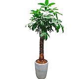파키라 삼식이 (도자기완성분) 특대 전시회식물 인테리어식물 축하식물 