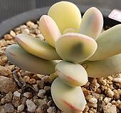 방울복랑금(자구1)6792 Cotyledon orbiculata cv variegated