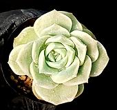 러블리로즈(얼큰이) 80-3 Lovely Rose