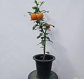 오렌지레몬나무(중품)|