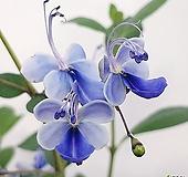 (중품)나비수국 Hydrangea macrophylla