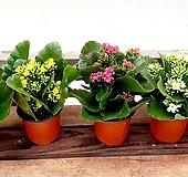 꽃 많은 가랑코에 카랑코에 칼란코에 선인장 