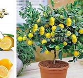 사계성 레몬트리 중품♥노란열매 열리는 오리지널 레몬나무♥옵션선택|