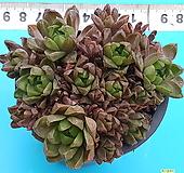 328자옵투샤군생 Haworthia var. obtusa(purple)