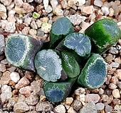 잔설만상 60-29 Haworthia maughanii