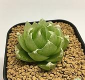 락우디(Haworthia lockwoodii) 