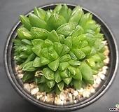 옵투샤-6001 Haworthia cymbiformis var. obtusa