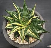 유리전 금-6001 Haworthia limifolia f.variegata